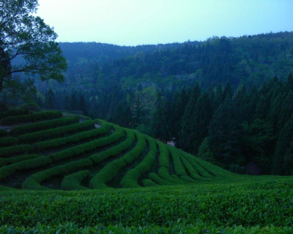 Boseong Tea Leaves 001